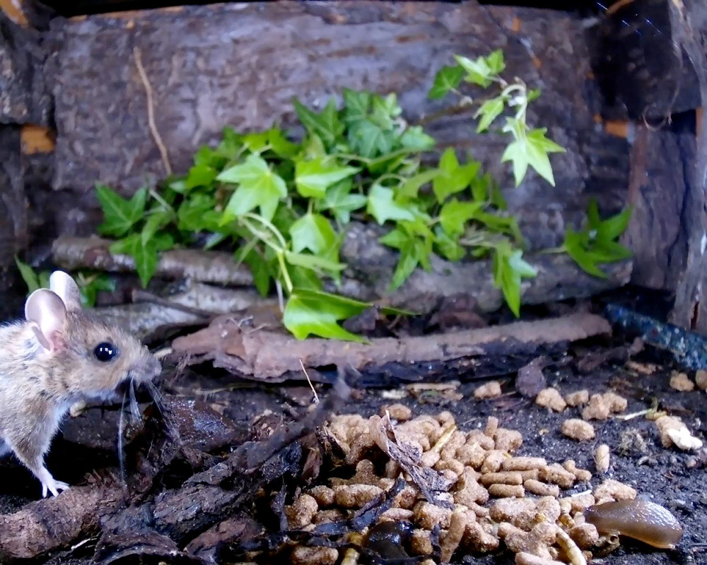 wood mouse covering food_00002