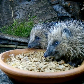 Rescue Hedgehogs for release in the WildlifeKate patch!