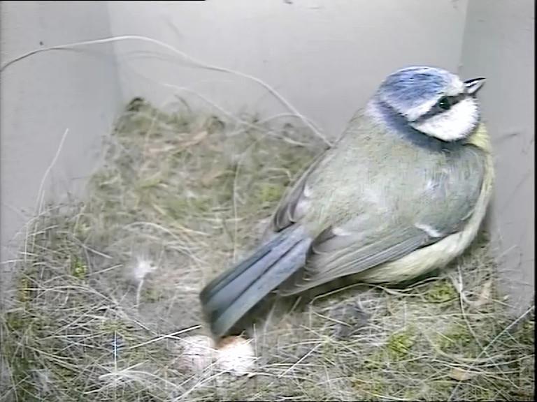 Blue tit 2 eggs 23rd April_00001