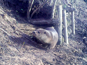 Yew View Otter Dream Bushnell Clips….