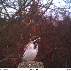 Tawny action, fox visits, polecat dens & reed buntings