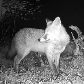 I identify at least 6 foxes visiting!