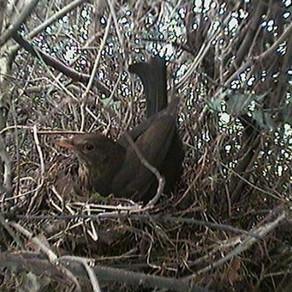 Blackbird nest predated