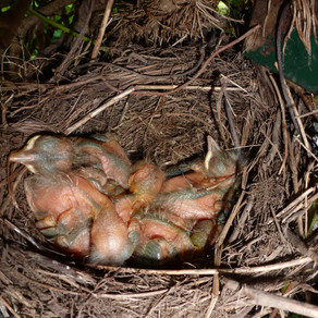 Blackbird Nest Drama