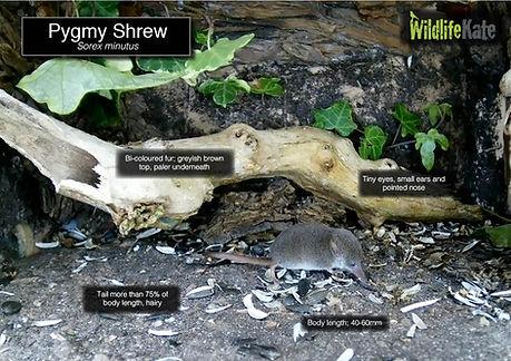Pygmy Shrew info.jpg