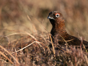 February Sunshine on Red Grouse…..