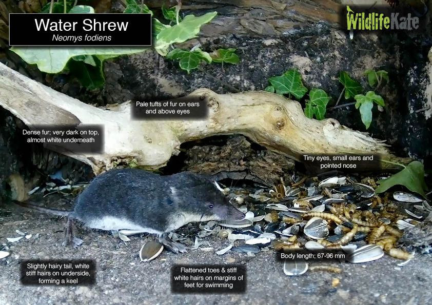 Water Shrew info