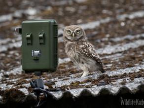 A Fantastic Little Owl Fix!