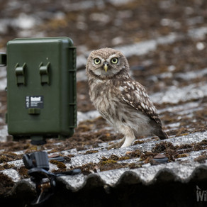 A Fantastic Little Owl Fix!