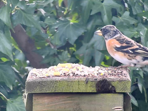 A Brambling Visitor to my Patch!