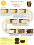 Mason Bee Life cycle