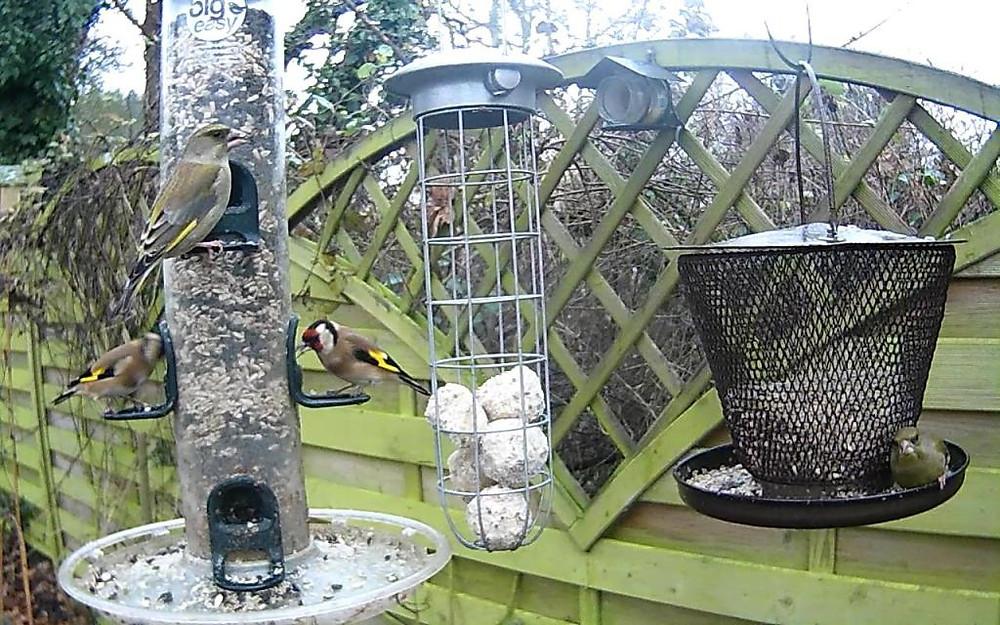 Goldfinch, greenfinch