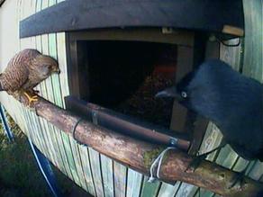 First pics of female Kestrel visiting my nest box!