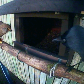 First pics of female Kestrel visiting my nest box!