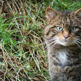 A Visit to Aigas Field Centre: Part 3 –  Pine Marten and Scottish Wildcats
