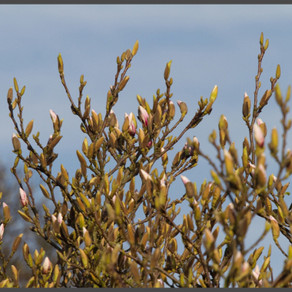 Magnolia nearly in flower