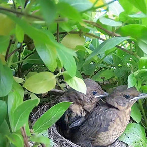 My Blackbirds Fledge… and I move the camera to a new nest!