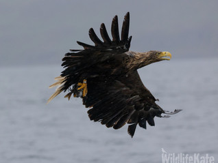 White-tailed Eagles of Mull