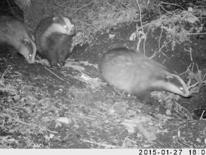 An Exciting New Badger Sett!