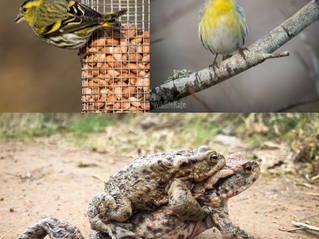 A quick Visit to Hillockhead; Pine Marten, Siskin and lots of Toads…