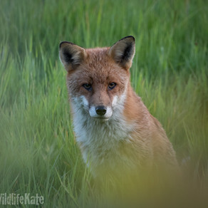 A Special Moment with my Fox Visitor……
