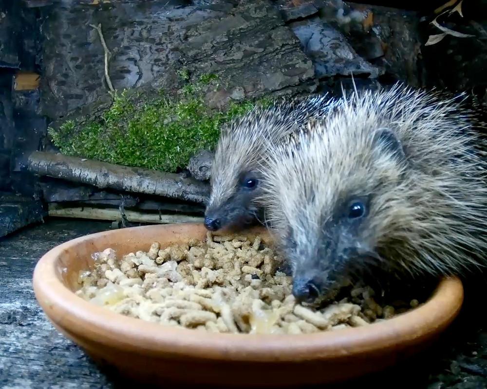 hedgehogs1_00000