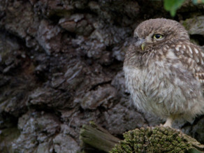 Little Owl Loveliness…..