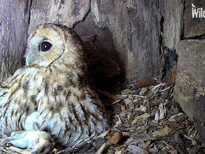 Our Owlet's first week at Yew View