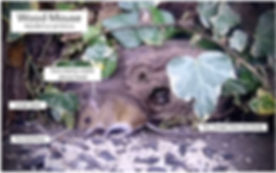 WoodMouse-Info.jpg