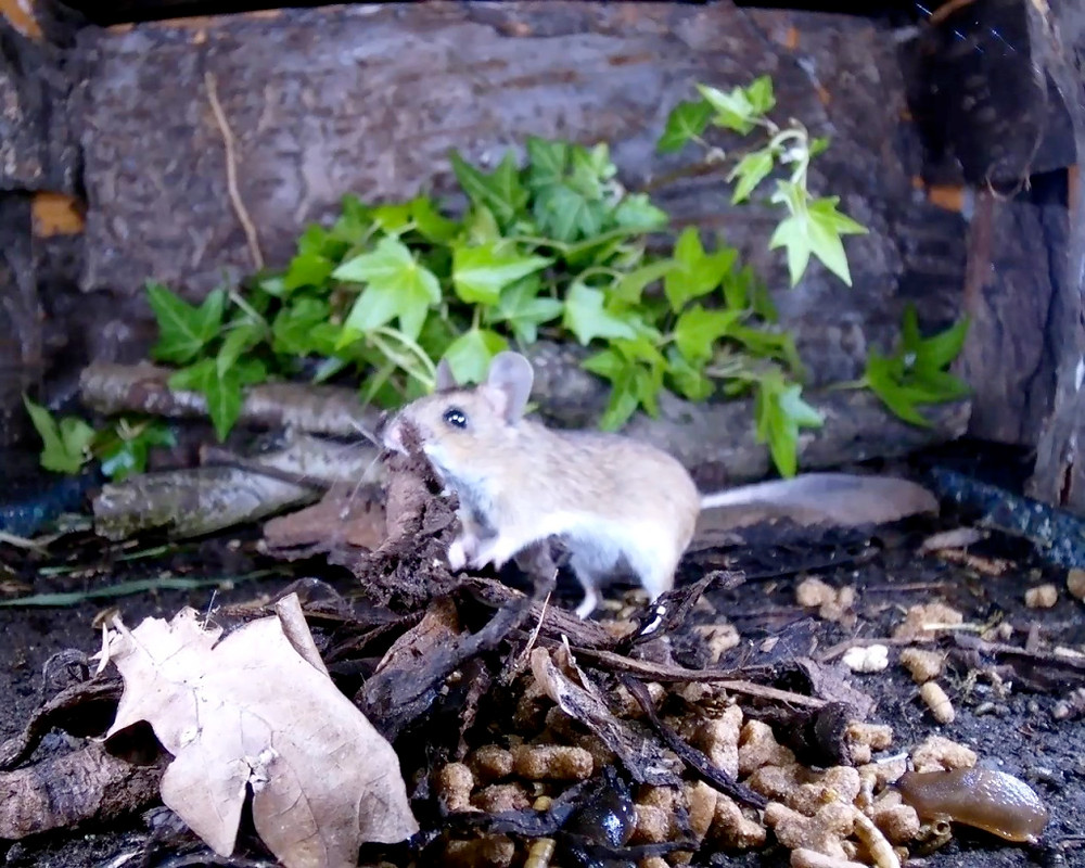 wood mouse covering food_00004