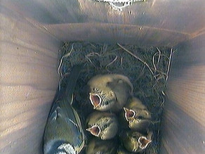 We're still here…. but ready to fledge!