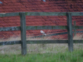 Norfolk barn owl encounters