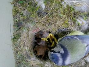 Blue Tit Nest Box Update