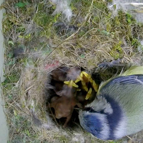 Blue Tit Nest Box Update