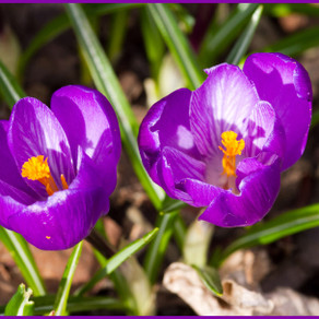 Crocus Shots