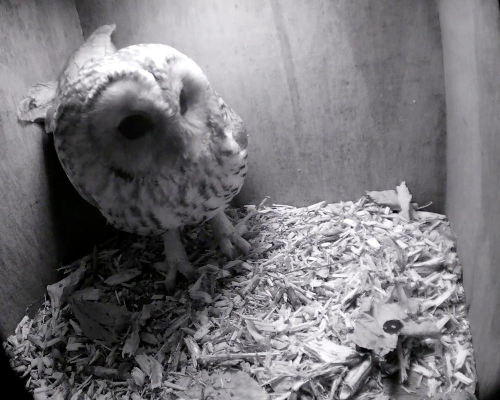 Tawny Owl one_00010
