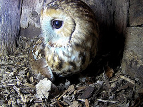 Regular Tawny Visits as we Move into February