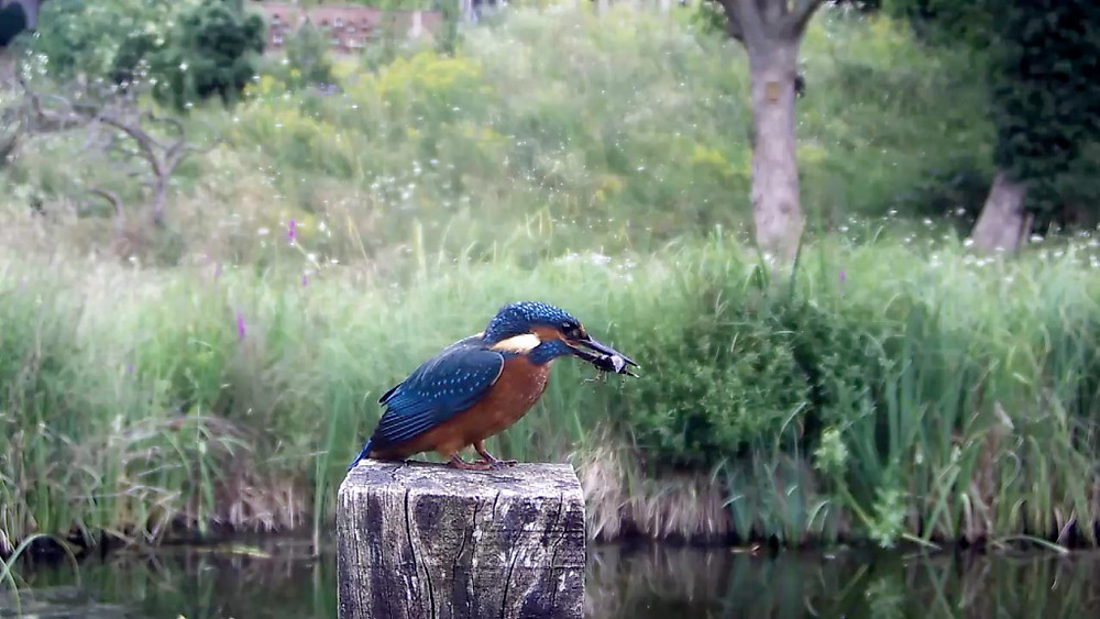 Kingfisher with dragonfly nymph_00000