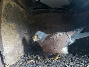 Inside and Outside the Kestrel Box.. more action today