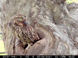 Apple Tree Little Owls