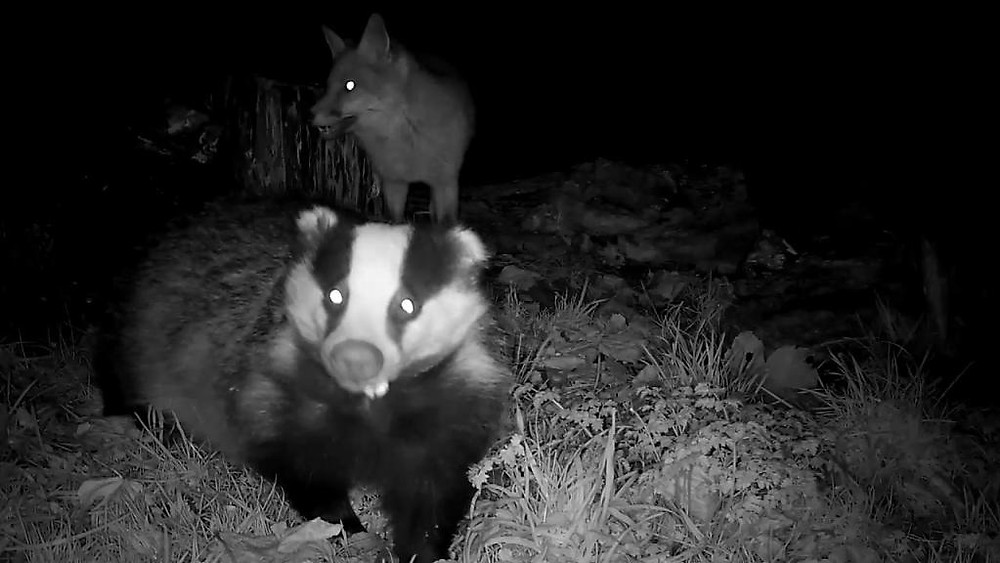 Vivotek IB8367 Badger Feeding 2015-12-02 17-56-04.224