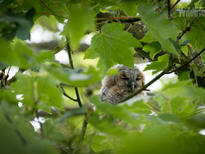 Branched owlet Photoshoot at Yew View…