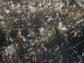 Dewy Spiderwebs
