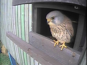 Exciting Footage from the Kestrel Box!