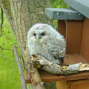 Tawny Owlet updates….. all grown up and ready to leave!
