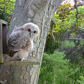 The Final Farewell to our Owlets as they branch into the trees….