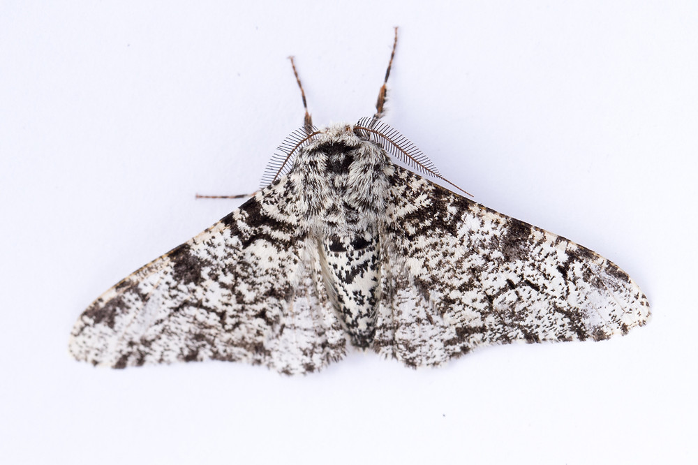 Peppered Moth-7866