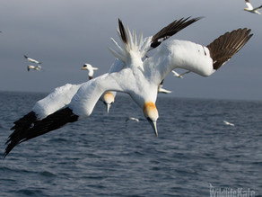 Gannets Galore and Puffin Flights!