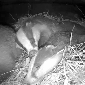 Badger Pamper Session in the Yew View sett!