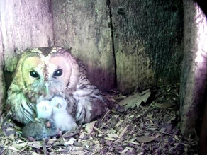Owlets & Otters!